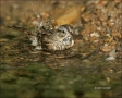 Sparrow;Lincolns-Sparrow;Texas;Southwest-USA;Bathing;Melospiza-lincolnii;one-ani